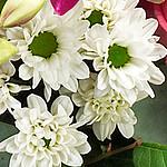 Knopfchrysanthemen
