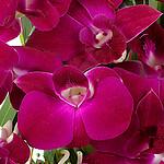 Orchideeblüten
