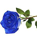 Blue premium rose