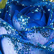 sparkling blue rose