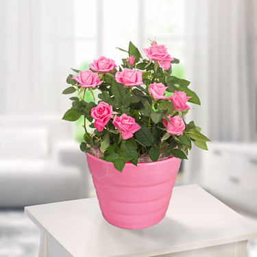 Pink Rose in a pot
