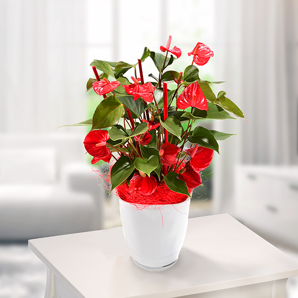Plant Sumatra-Anthurie