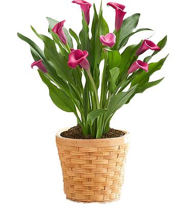 Blumenarrangement Callatraum