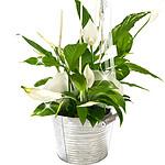 Big Peace Lily
