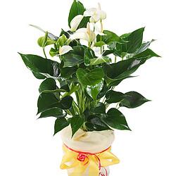 Anthurie Weiß