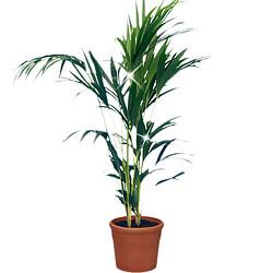 """Pflanze """"Kauai""""-Kentia-Palme"""