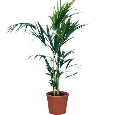 Kentia-Palme - Zimmerpflanzen - Blumen online verschicken auf ...