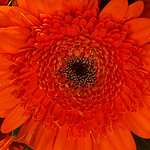 orange germini