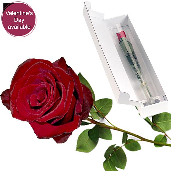 Red long-stemmed Fairtrade rose