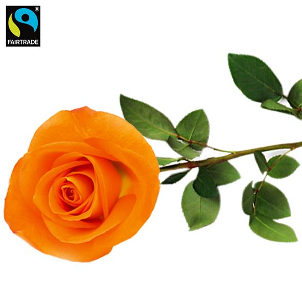 Orange, langstielige Fairtrade Rose in edler Verpackung