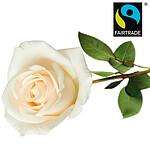 White FAIRTRADE rose