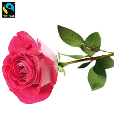 Rosa, langstielige Fairtrade Rose in edler Verpackung