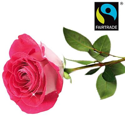 Pink FAIRTRADE rose