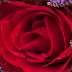 red roses