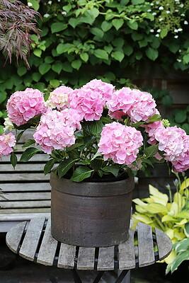 Gartenhortensie, rosa, 1 Pflanze