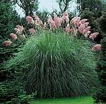 Staude Pampasgras, rosa, 4 Pflanzen