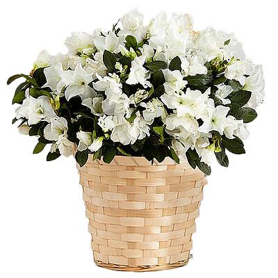 Weiße Azalea