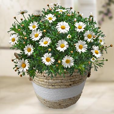 Daisies in a sea grass basket