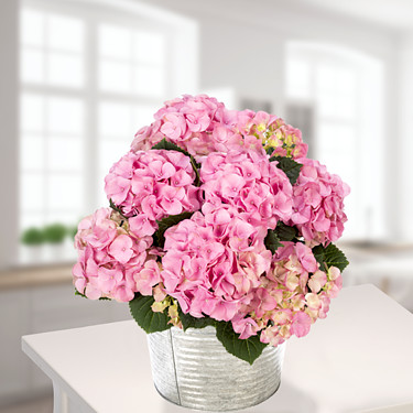Pink Hortensia in a wicker basket