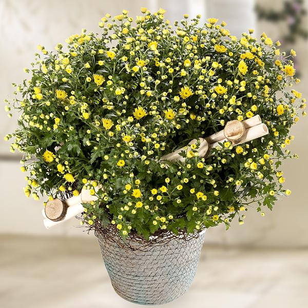Gelbe Chrysanthemen im Weidenkorb