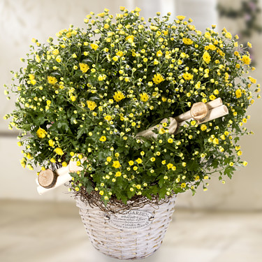 Yellow chrysanthemums in a wicker basket