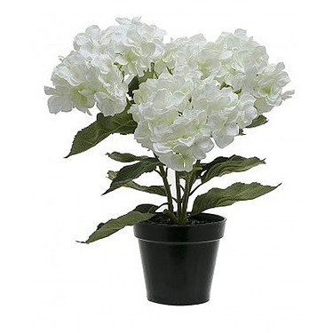 Weiße Hortensie