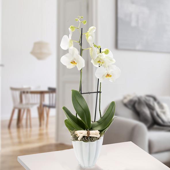 Orchidee im weißen Topf mit weißen Blüten