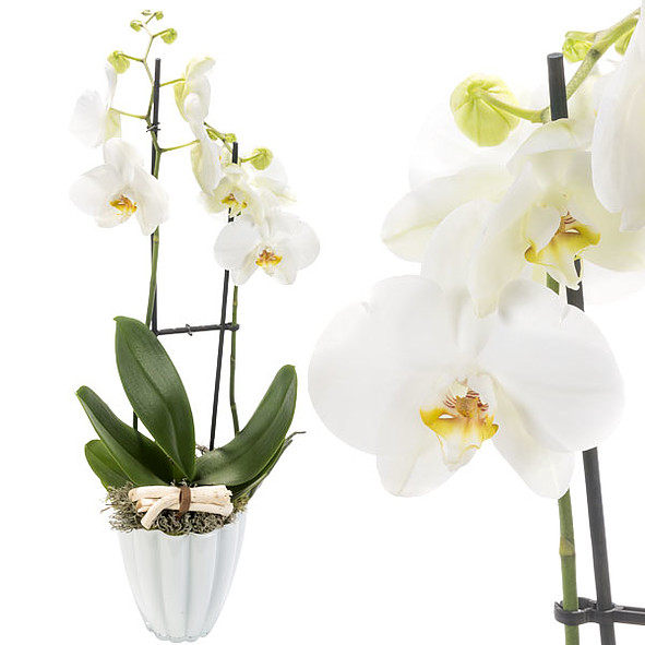 Orchid in white pot with white blossoms