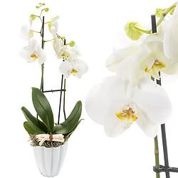 Orchidee mit weißen Blüten