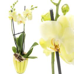 Orchidee mit gelben Blüten
