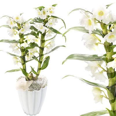 Asiatisch Trauben-Orchidee im Topf