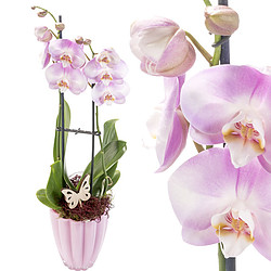 Orchid in Pot with purple blossoms