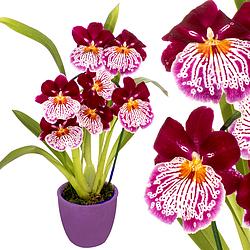Inca Orchid