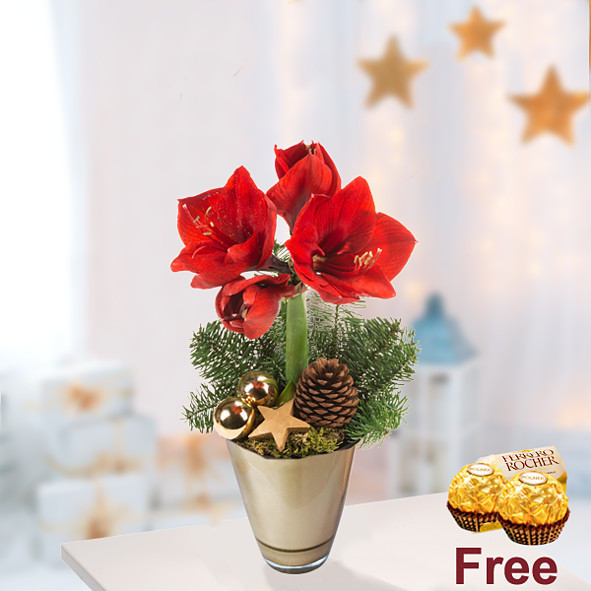 Red Amaryllis in a pot with 2 Ferrero Rocher