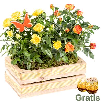 Orange-Gelbe Topfrose im Holzkasten mit 2 Ferrero Rocher