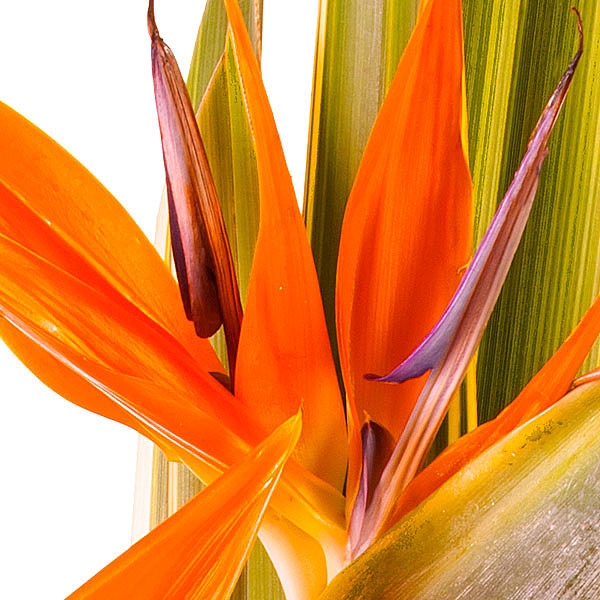 bird-of-paradise flowers