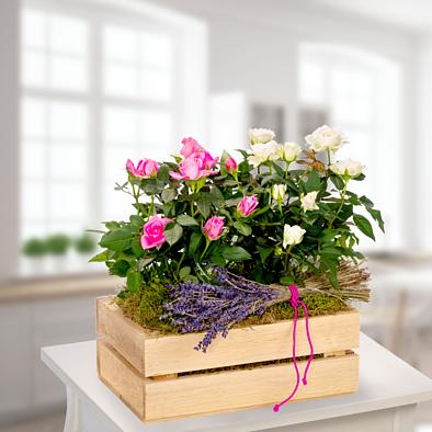 Rosa und weiße Topfrosen mit Lavendel im Holzkasten