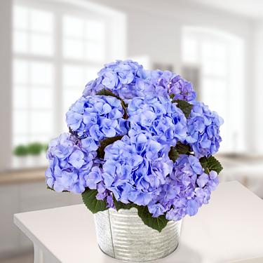 Blaue Hortensie im Zinkeimer
