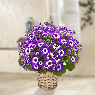 Dual Coloured Chrysanthemum in a wicker basket