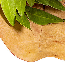 hoja leaves