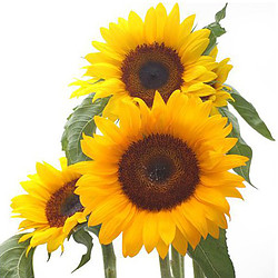 Bunch of 5 sunflowers