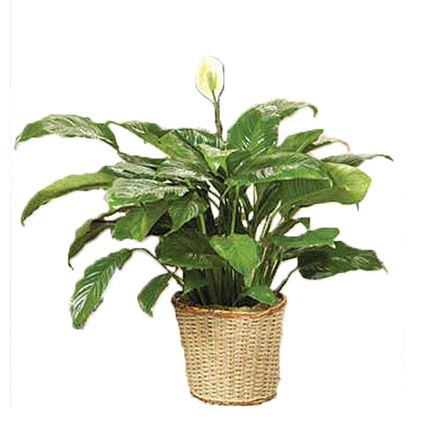 Classic Peace Lily Plant