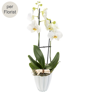 White orchid in a pot