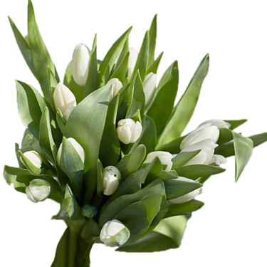 Tulpenbund Weiße Pracht