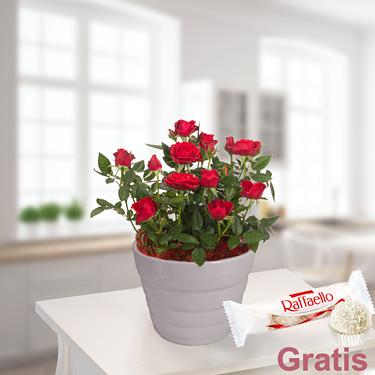 Rote Rose im Topf mit Ferrero Raffaello