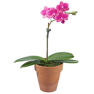 Pink Mini Orchid in Pot