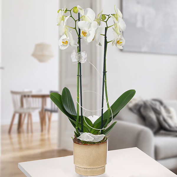 Orchid in beige pot with white blossoms