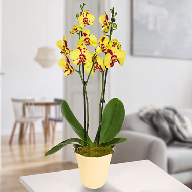 Gelb-Pinke Tiger-Orchidee im dekorativen Topf