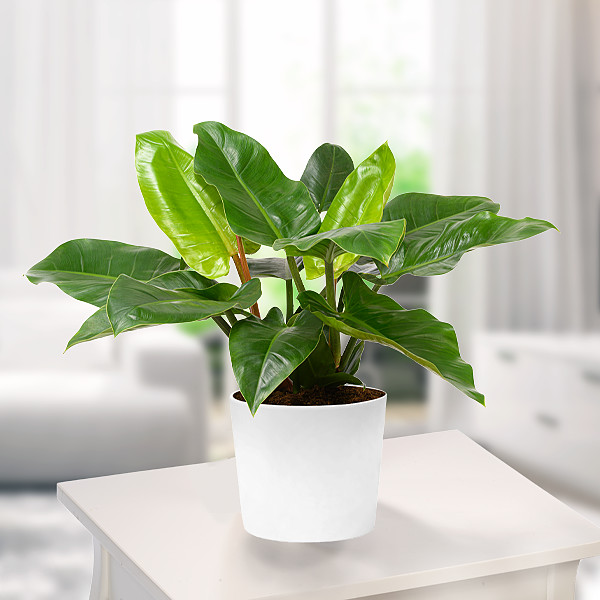 Philodendron Imperal Green