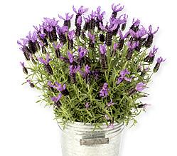 Lavendel im Zinktopf